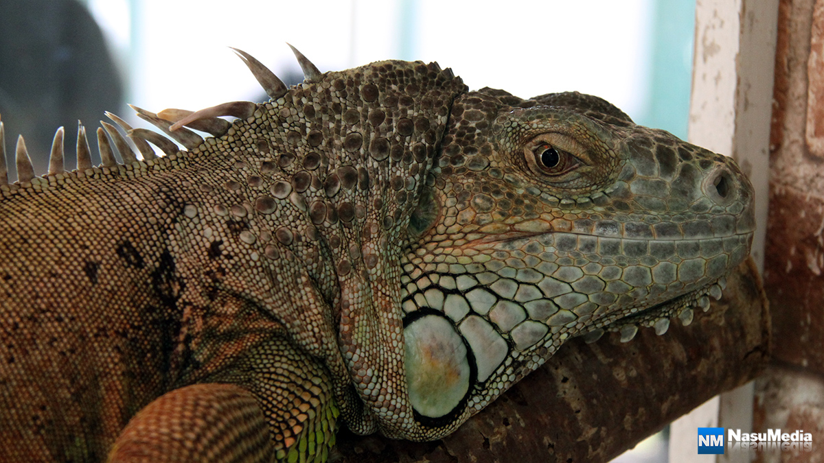 small-animal-house_green-iguana