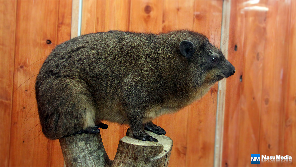 small-animal-house_hyrax