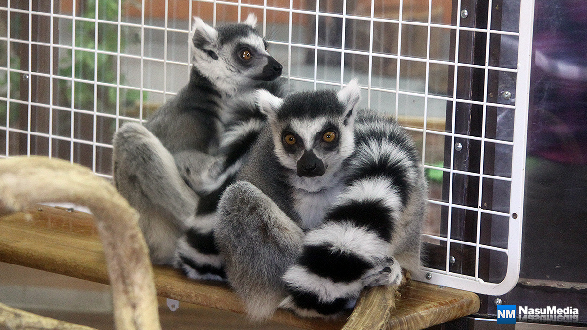 small-animal-house_ring-tailed-lemur
